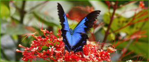 Ulysses Butterfly (Papilio ulysses)